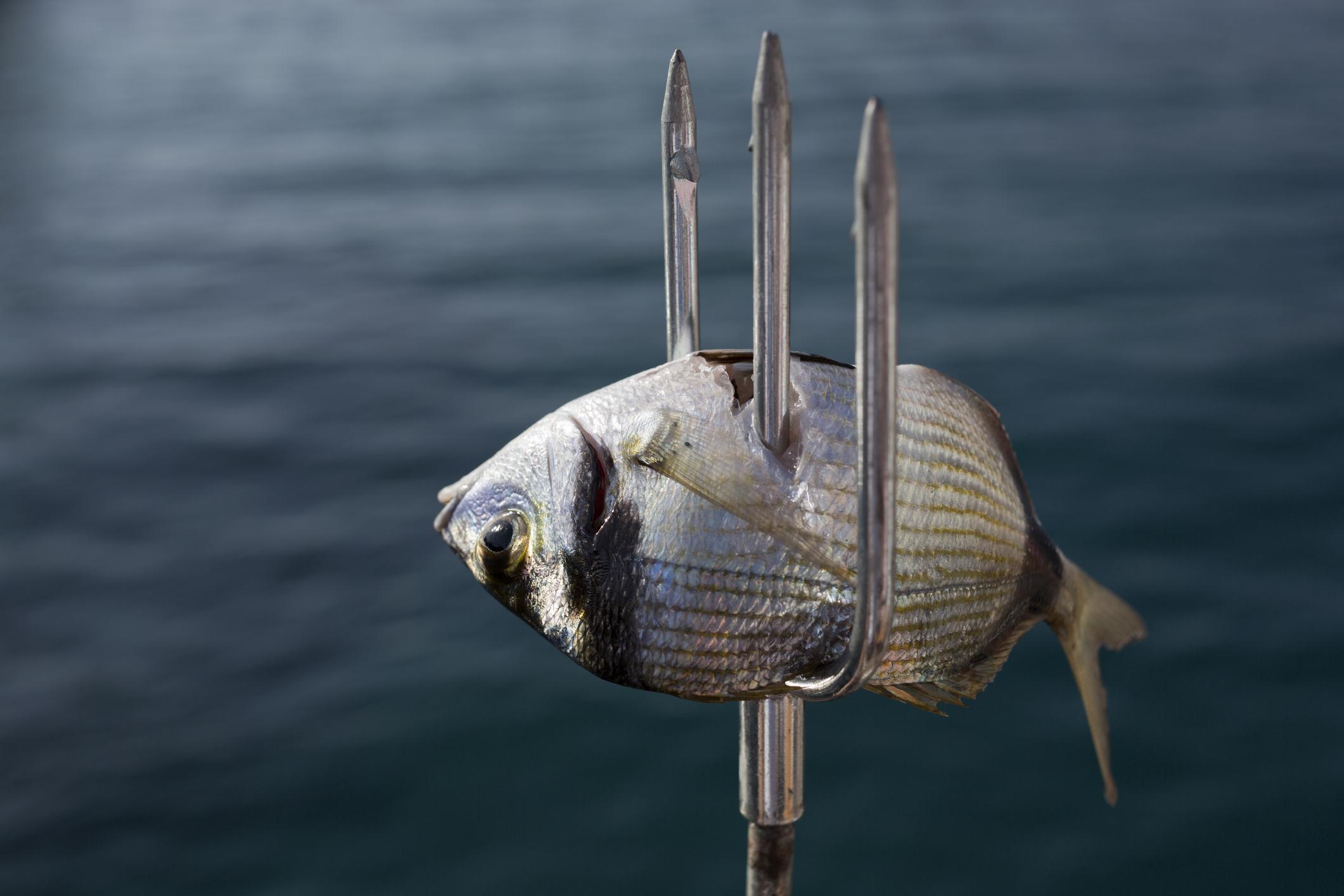 Sea bream and harpoon